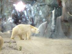 Polar Bear at the Toronto Zoo.