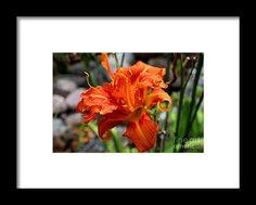 lily, orange, flower, bloom, blossom, nature, garden, michiale, schneider, photography