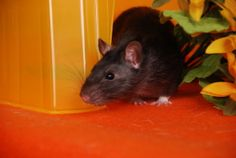a couple of nice recipes for homemade rat treats