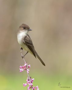 An Eastern Phoebe posing on an Eastern Redbud snag for me in the Appalachian Preserve which is located just outside Shawnee State Forest in extreme southern Ohio.  Probably one of the easier birds to identify by song are these guys.  Where you find a bridge over a creek, you'll most likely find these guys nesting.  A great outing had with two friends of mine during a trip here last month.  Thanks for stopping by!  On Facebook?  Check me out and give me a like at Moments in Nature