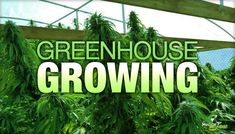 Greenhouse Growing For Efficient Medical Marijuana Production