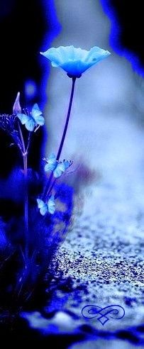 A few blue flowers. Azul Indigo, Bleu Indigo, Im Blue, Blue And White, Blue Flowers, Beautiful Flowers, Color Splash, Color Blue, Image Bleu