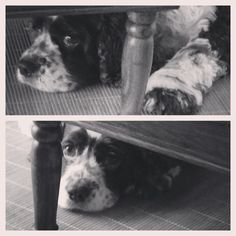 BW Tashi... Under the table #dogs #animals #love #pets