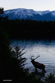 EK05943 Rocky Mountain Elk