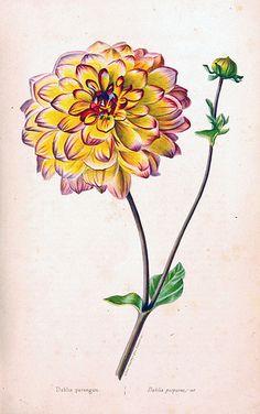 Aztec Dahlia, Old Garden Dahlia. Dahlia pinnata. Herbier général de l'amateur. Deuxième Série, vol. 1 (1839-50)