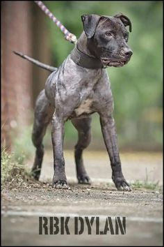 2175 Best American Pit bull Terrier,Apbt,Game dog,Working,Pitbull