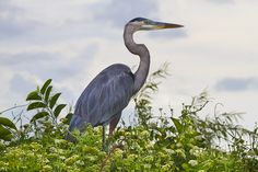 Great Blue Heron, Everglades National Park I just saw one fly past my home, Somerset Co.N.J.