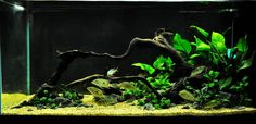 "Thailand Best Aquascaper Contest 2013 by ADA Thailand - ""The Anubias Tank"""
