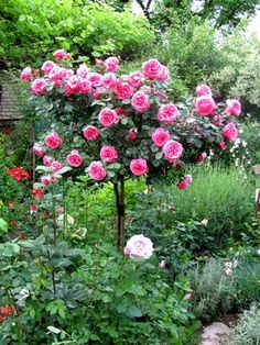 The pergola is not built to give shade as it has number of openings. Rose Trees, Garden Paths, Backyard, Colours, Landscape, Plants, Walkway Ideas, Outdoor, Walkways