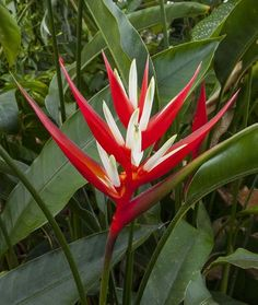 Red Christmas Heliconia (Heliconia angusta 'Red Christmas')