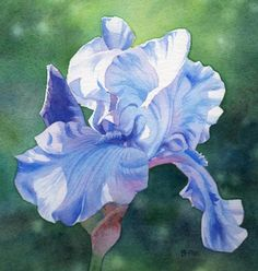 Periwinkle Blue Iris - Barbara Fox