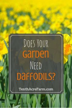 Does your vegetable garden need daffodils? Daffodils dazzle the early season with colorful flowers, but their benefit to the garden extends beyond beauty. Learn about how they can benefit a permaculture garden.