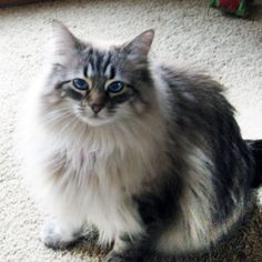 Bailey is an adoptable Maine Coon Cat in Mission Viejo, CA. This is Bailey, a beautiful silver gray & white Maine Coon & Ragdoll mix. Bailey is half of a very bonded pair. Bailey and Beau are two extr...