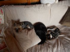Nos 3 zazas : Salomée, Gaïa et Anouchka #chat #cat #chien #dog #yorkshire #chambredhote #bandb #cute #mignon #tarn #castelnaudemontmiral #gaillac http://lamaisonduchai.com/accueil.html