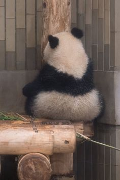 Panda Love, Panda Bears, Spiritual, Cute Animals, Birds, Pets, Amazing, Funny, Animales