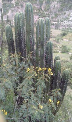 Trichocereus Chavin de Huantar Samen Seeds - http://diekakteen.de/produkt/trichocereus-chavin-de-huantar-samen-seeds/