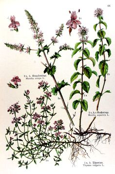 Thyme - img/gravures anciennes de fleurs/gravure couleur ancienne de fleur - Thymus vulgaris; Mentha aquatica; Mentha crispa.jpg