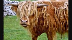 Highland cattle.... So adorable!