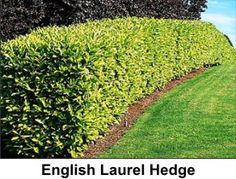 English Laurel Hedge. Thick, dense form. white flowers in May. Drought tolerant