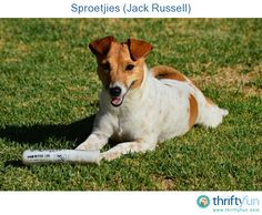 A beautiful photo of a Jack Russell terrier.