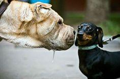 big dog's drooly kiss, little dog's apprehension