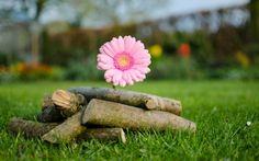Una gerbera rosa