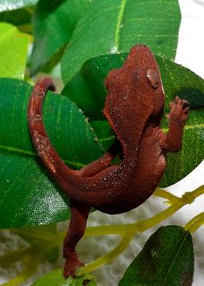 BEAUTIFUL red crested gecko hatchling
