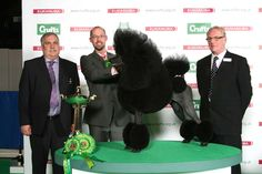 CH/AM CH AFTERGLOW MAVERICK SABRE  Poodle (Standard)  Dog  Owner: MR J & MR J & MRS S LYNN & STONE