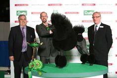 CH/AM CH AFTERGLOW MAVERICK SABRE  Poodle (Standard)  Dog  Owner: MR J & MR J & MRS S LYNN & STONE