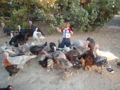 Guide for selecting the best breed of turkeys for raising them in your backyard.