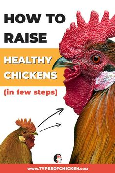 In this article we talked about few tips on how to raise healthy chickens, followed by suitable steps that should be taken timely. Hope you find the information valuable. Types Of Chickens, Raising Backyard Chickens, Keeping Chickens, Chickens And Roosters, Pet Chickens, Urban Chickens, Backyard Poultry, Chicken Breeds, Small Farm