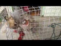 Criatura bizarra flagrada em floresta em Bornéu é capturada após 2 meses +http://brml.co/1Iou2Fl