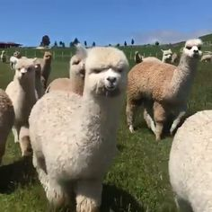 … Flauschige Herde kommt neugierig näher ♦ Fluffy Crew Coming Threw The post … appeared first on Welcome! Animal Jokes, Funny Animal Videos, Cute Funny Animals, Cute Baby Animals, Animals And Pets, Fluffy Cows, Cute Alpaca, Tier Fotos, Pet Birds