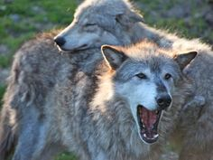 Wolf hunt up for vote on Michigan's November ballot ...Elated that Mich voters have resoundingly rejected the hunt,  as well as the power grab....