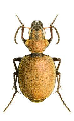 Graphipterus velutinus.