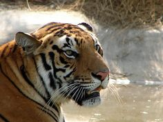 Guest post Top 5 national parks in India which aim for tiger conservation Jessica Frei India possesses half of the world's tiger population, but the astonishing Tiger Conservation, Skin Trade, Best Mother, Tourist Places, Adventure Tours, Top Of The World, Big Cats, Mother Nature