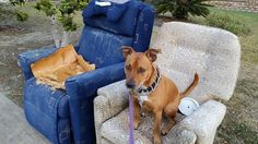 Rocky found this chair during his walk ... there was a council kerbside clean up and he wants to take this one home! - Carol's Contented Critters, PetCare, Currumbin Waters, QLD, 4223 - TrueLocal