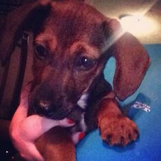 Meet Oscar, a Petfinder adoptable Dachshund Dog | Blytheville, AR | Oscar is a sweet little guy currently in a foster home with a shepherd and a cocker whom he loves...