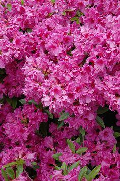 Find Herbert Azalea (Rhododendron U0027Herbertu0027) In Lake Bluff Forest  Libertyville Waukegan Mundelein Illinois IL At Pasquesi Home U0026 Gardens