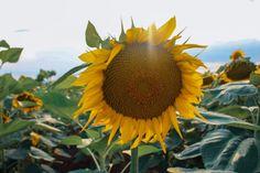 ΚΙΤΡΙΝΟΙ ΟΡΙΖΟΝΤΕΣ , ΤΑ ΗΛΙΟΤΡΟΠΙΑ ΣΕ 17 ΦΩΤΟΓΡΑΦΙΕΣ Greece Destinations, Fruit, Plants, Greece Vacation, Plant, Planets