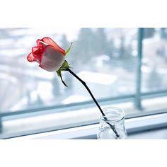 Pure.  #flower #rose #winter #valentinesday #love #image