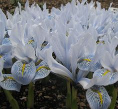 Iris histrioides 'Sheila Ann Germaney' 5 or more - £0.50 each 10 or more - £0.47 each 25 or more - £0.44 each Dispatched September to October. The flower is in a much quieter vein than I. 'Katharine Hodgkin' and I. 'Frank Elder', which are from the same parents, but certainly a worthy new introduction to this family. Light purplish-blue grey falls with a central line of almost orange-yellow surrounded by a broken white patch spotted sectioned medium blue. The erect standards are light...