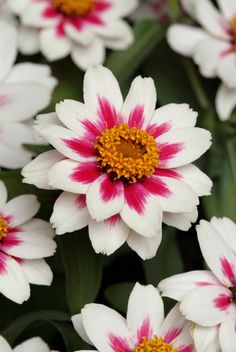 AAS Winner Zinnia 'Zahara Starlight Rose' Superior disease resistance to leaf spot and mildew results in long lasting plants.