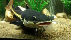 Red tail catfish eating my koi fish!