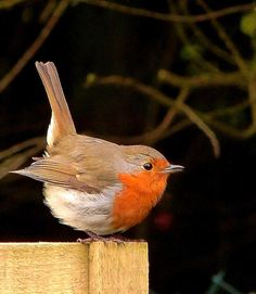 A chubby robin doing an impression of a wren!