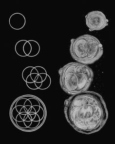 "chaosophia218: ""First few stages of embryonic cell division correspond to Flower…"