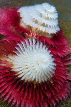 The dual respiratory structures of a christmas tree worm (Spirobranchus giganteus), Raja Ampat Islands, West Papua, Indonesia.