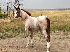 Pandora grown up Pretty Horses, Horse Love, Beautiful Horses, Animals And Pets, Baby Animals, Cute Animals, Broken Horses, Horse Facts, Horse Costumes