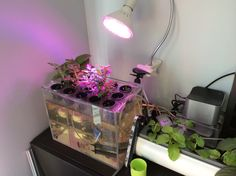 Mini aquaponic system on trial