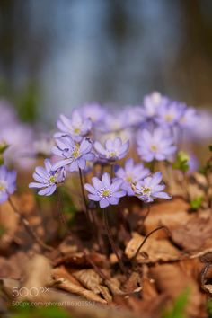 Close-up of Common Hepatica (Anemone hepatica) on the forest floor in early spring Upper... by Radius_Images via http://ift.tt/2g9J8Yp